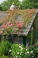 Roses on cottages, fix the trellis, Siasconset, Nantucket Island, Massachusetts. USA.