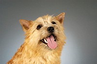 Close-up of a Yorkshire Terrier sticking out its tongue