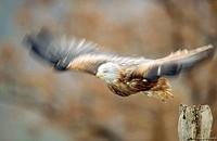 Red kite (Milvus milvus) flying. Nationalpark Kellerwald-Edersee. Hesse. Germany.