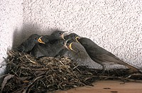 Redstart Phoenicurus phoenicurus feeding its chicks in nest
