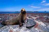 Galapagos Sea Lion Zalophus wollebaeki on rock, Galapagos Islands, Ecuador