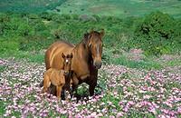 Mare with foal in a flowery spring meadow near Tarifa. Province of Cádiz, Andalucía, Spain.
