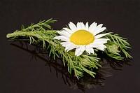 Pellitory, medicinal plant, herb, Anacyclus pyrethrum
