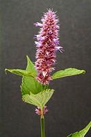 Purple giant hyssop, korean mint, spice, herb, medicinal plant, Agastache rugosa.