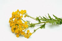 Tancy, medicinal plant, herb, Tanacetum vulgare.
