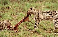 cheetah, phinda, south africa