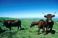 Auvergne, Salers cows