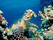 Hawksbill sea turtle eating soft corals, Eretmochelys imbricata, Egypt, Red Sea, Sinai