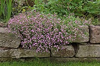 Rock Soapwort, Saponaria ocymoides, Germany, bloom