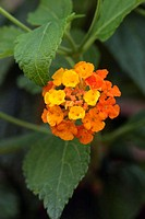 Common lantana, Lantana camara, Germany, bloom