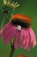 Coneflower, Echinacea purpurea, Germany, bloom