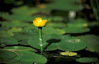 Yellow Water lily, Nuphar lutea, Germany, bloom