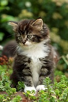 Maine Coon Housecat, Silvestris domestic spec, Germany, cub