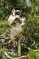 Verreaux`s Sifaka, Propithecus verreauxi coronatus, Berenty Game Reserve, Madagascar, adult feeding on tree