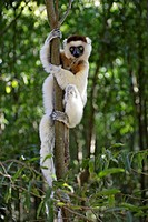 Verreaux`s Sifaka, Propithecus verreauxi coronatus, Berenty Game Reserve, Madagascar, adult on tree