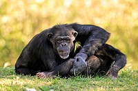 Chimpanzee, Pan troglodytes troglodytes, Africa , adult female with young