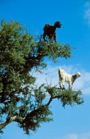 The Argan trees (Argania spinosa) at the foothills of the Anti-Atlas mountains often are climbered by goats which feed on the olive-like fruits and th...