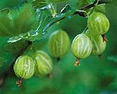 Green gooseberries on the bush