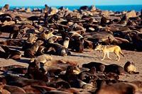 Jackal (Canis mesomelas) walking between afro-australian fur seals (Arctocephalus pusillus). Namib desert coast. Namibia