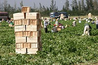 Hispanic farm workers, harvest, pick, beans, stacked crates, agriculture, labor, work. Homestead. Florida. USA.