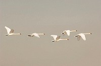 Flying mute swans