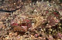 Eckström´s Topknot (Zeugopterus regius). Galicia, Spain