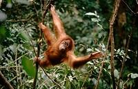 Orangutan (Pongo pygmaeus). Sumatra. Indonesia