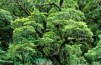 Rainforest. Fiordland National Park. South Island. New Zealand