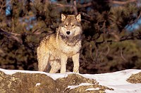 USA, Minnesota, Northern Woods, A Gray Wolf (Canus lupus) in the Winter,