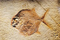 Fish Fossil (Gyrodus hexagonus) - Museum Eichstaett / Place of discovery is Workerszell / Bavaria/Germany