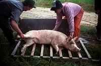 Farmers putting a dead pig on a barrow, Sweden