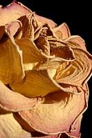 Dried rose, close-up