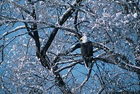 Bald Eagle Perching in Tree