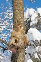 Barbary Macaque (Macaca sylvanus). La Montagne des Singes. Kintzheim. Alsace. France
