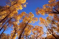Cottonwood Trees