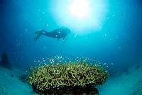 Philippines, Dalmakya Island, scuba diver in coral reef, underwater view