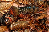 Close-up of lobsters