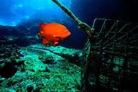 Orange Fish near Lobster Trap