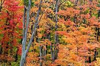 Maple trees in mature deciduous woodlot. Parry Sound, Ontario, Canada