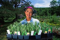 Gardener on Herb Farm with Tray of Lavender Plants