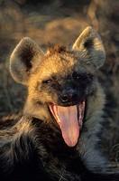 South Africa, Krüger-Nationalpark,  Dot hyena, Crocuta crocuta,  pants, portrait Africa, Krüger Nationalpark park, national park, reservation, wild pr...