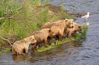 Grizzly bear female + 3 cubs in Brooks river (Ursus arctos horribilis). Katmai National Park. Alaska. USA