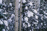 Aspen Trees near Snow-Covered True Pine