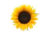 Sunflower, Helianthus spec., Bloom,    Series, plant, flower, composites, ornamental plant, useful plant, petals, yellow, stamens, brown, halo, concep...