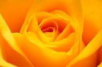 Rose, yellow, bloom, close-up,    Plant, flower, garden flower, ornamental plant, slice flower, rose bloom, petals, order, nature, Floristik, concept,...