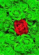 Roses, green, red, blooms, close-up,   [M] Plants, flowers, garden flowers, ornamental plants, slice flowers, rose blooms, breeding roses, petals, ord...
