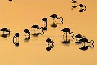 Greater Flamingo, Phoenicopterus ruber, Laguna Larga de Villacañas, Toledo, Castilla La Mancha, Spain.