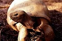 Giant turtle. La Digue island, Seychelles