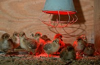 Domestic, Fowl, chicks, under, infrared, lamp