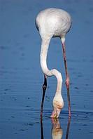 Greater Flamingo (Phoenicopterus ruber). Toledo, Castilla La Mancha, Spain.